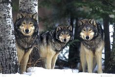 The Holistic Green Garden: WOLVES IN SNOW #wolfinnature
