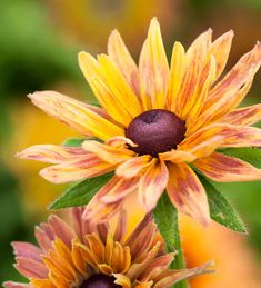 Buy Rudbeckia hirta 'Sahara' from Sarah Raven: A beautiful mix of soft colour rudbeckias which flower well, right on into late autumn – passionately recommended. Herbaceous Perennials, Flowers Perennials, Planting Flowers, Brown Flowers, Pretty Flowers, Cut Flowers, British Flowers, Plant Sale, Cool Plants