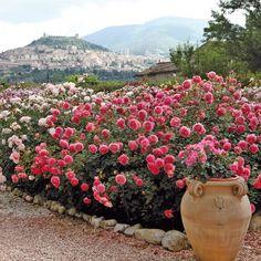 Rose 'Jubilee Celebration; * David Austin English Rose * Shrub Rose
