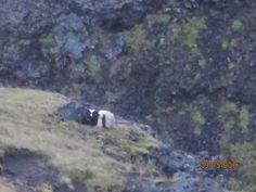 Islande, route 590; mouton égaré après la grande rentrée dans les granges de septembre, solitaire, et cherchant un abri derrière un rocher sous la pluie et le vent.