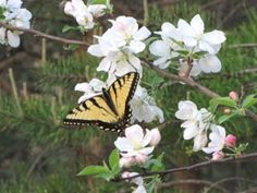 Wild Crabapple Tree in Bloom with Eastern Tiger Swallowtail Butterfly - The Nature In Us Newsletter - 5/1/13
