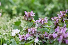 This patchy silver leaf plant continually grows on and off until fall. Its salmon pink blossoms are nice and catchy.