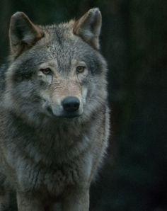 (via Wolf By Carlo Ricupero)