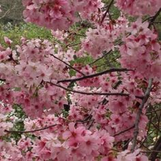 Cherry Blossoms at The Huntington