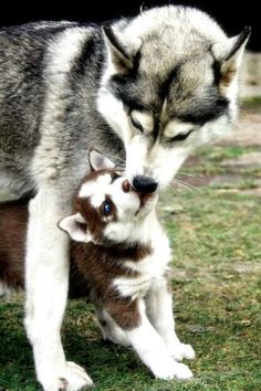 Siberian Huskies- Love, Love, Love!
