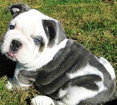 What a Beautiful Baby English Bulldog!!  www.bullymake.com