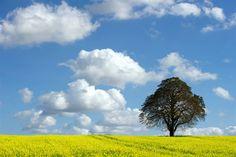 Lone tree punctuates flowering field in Germany