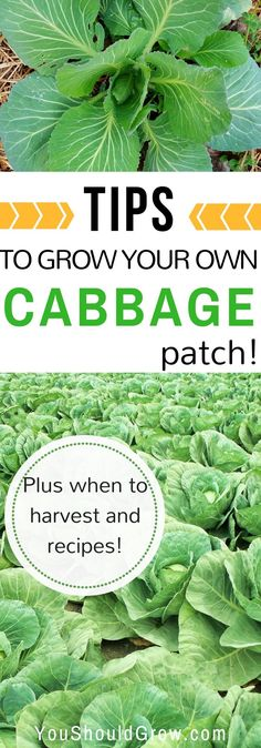 Cabbage is a must grow in your home garden. One of the healthiest vegetables you can grow, cabbage is also very versatile in the kitchen. This post includes tips on growing cabbage, when to harvest cabbage, plus recipes for preserving… Continue Reading → Kinds Of Vegetables, Organic Vegetables, Growing Vegetables, Gardening Vegetables, Healthy Herbs, Healthy Vegetables, Cabbage Patch, Growing Cabbage, Vegetable Garden Tips