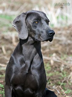 Blue Weimaraner | Flickr - Photo Sharing!