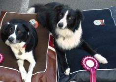Buddy Border Collies