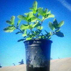 #peppermint #mint #belgrowherb #herbs #spices