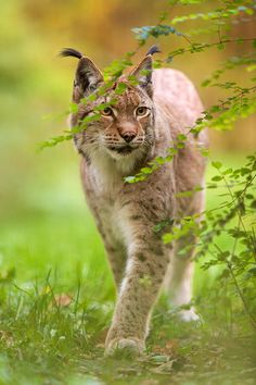 Would luv to have one of these! Eurasian Lynx (Photo by generalstussner) www.everythingequines.com