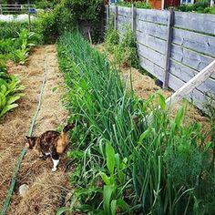 A raised bed in, about ten meters, in my kitchen garden. Onions, celeriac and corn. #garden #growfood #raisedbed #deepbed #trädgård #odla