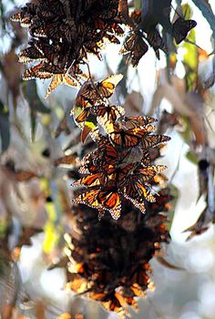 Monarchs overwintering Pismo Beach, California Coast...they hang in huge clusters on colder days and are flying all around on warmer days...its a must-see if you are ever on the Central Coast