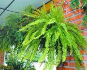 conhecendo-melhor-as-samambaias-2 .... estas plantas funcionam como um exaustor de energias negativas, limpando o ambiente. Devemos ter em casa iu em sitios que fiquemos muito tempo