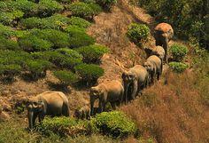herd of asian elephants travelling across farmlands - Google 検索