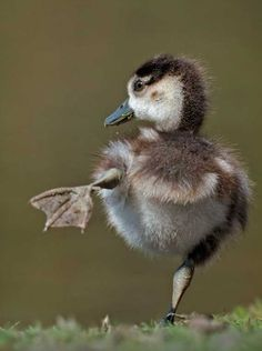 60 Cute Baby Duck Pictures to Make You Say Awww Animals For Kids, Cute Baby Animals, Animals And Pets, Funny Animals, Duck Pictures, Animal Pictures, Beautiful Birds, Animals Beautiful, Beautiful Creatures