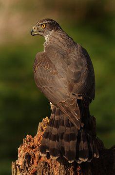 Brown Goshawk (Accipiter fasciatus), Australia and surrounding islands.