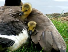 canadian geese - nice and cozy ;)