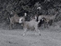 Φέτα Μίχου – Κλασσική Παραδοσιακή Τυροκομία Δο ρκάδος Goats, Animals, Animales, Animaux, Animal, Animais, Goat