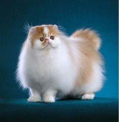 gatos persas (29)