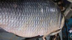 30 KG/KiloGram Big Carp Fish/Katla Fish at Kawran Bazar #BigKatlaFish #BigCarpFish #HugeCarpFish #BigFishMarket