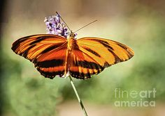 Banded Orange Heliconian Butterfly :  http://fineartamerica.com/profiles/robert-bales/shop/all/ all/all