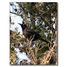Great Tailed Grackle Photo Postcard