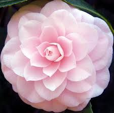camellia flower - Google Search