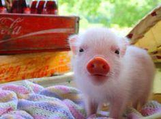 Pig - Micro Mini Teacup Pigs - Nanos - Miniature Piggies - Piglets - Hollywood, Florida i want oneee ! Cute Baby Pigs, Cute Piggies, Cute Baby Animals, Funny Animals, Tiny Pigs, Pet Pigs, Mini Teacup Pigs, Teacup Piglets, Tier Fotos