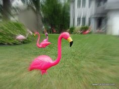 With spring right around the corner, nothing says smiles more than some yard flamingos. Heck, yard flamingos are fun all year around if you [..] Read more at www.1KSmiles.com/857-yard-flamingos