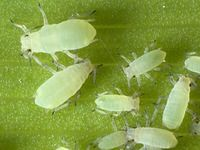 Aphids damage plants at all life stages. They can leave plants susceptible to powdery mildew and other fungal diseases. Learn how to treat and control aphids in the garden with beneficial insects, biocontrols and insecticide sprays. Organic Gardening, Gardening Tips, Vegetable Gardening, Aloe Vera, Growing Marijuana Indoor, Natural Pesticides, Flea Spray, Bees And Wasps, Pest Control Services