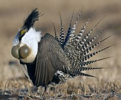 sage grouse's strange courtship display.  The sound it makes along with this really makes it a bizzare sight.