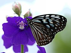 Purple Butterfly | Black And White Butterfly On A Lavender Colored Flower