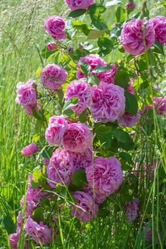 David Austin Roses bestselling rose 'Gertrude Jekyll' photographed in the Rose meadow at Easton
