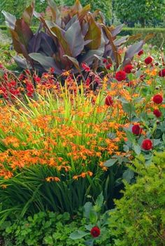 The flamboyant colors of Crocosmias add vivid visual interest to the sunny border and they are terrific elements in hot-colored schemes. They radiate beautifully with Heleniums (Sneezeweed), Kniphofias (Red Hot Pokers), Dahlias and ornamental grasses where they maintain the interest well after the first leaves have started to fall.