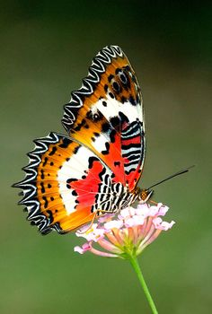 The Malaysian Lacewing