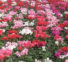 Η εταιρεία μας - AthensPlants - Παραγωγή καλλωπιστικών φυτών