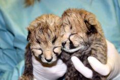 newborn cheetahs at the national zoo. makes me want to go back to SA and hug them again :)