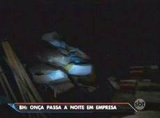 Galdino Saquarema Noticia: Onça passa a noite em empresa na grande Belo Horizonte