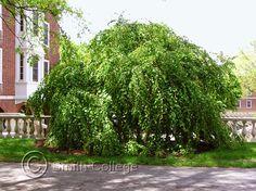 Weeping katsura (Cercidiphyllum japonicum 'Pendula')