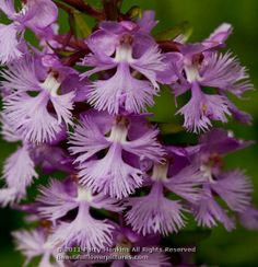 Lesser Purple Frings Orchid