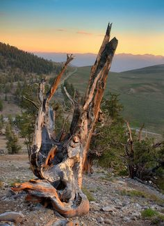 "Bristlecone Remnant at Dusk 9"" x 12"" Fine Art Print in a 16"" x 20"" Mat on Etsy, $24.00"