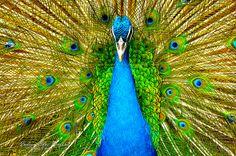 Indian Blue Peafowl -CL