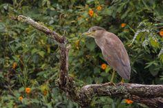 Guaco común (Huaco) Juvenil Black-crowned Night-Heron Nycticorax Nycticorax