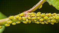 1. Aphids http://www.rodalesorganiclife.com/garden/top-ten-garden-insect-pests/slide/2