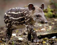 i <3 tapir!!!