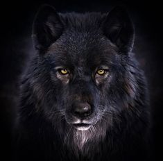 Black Wolf 🐺🖤 Comment your thoughts down below and rate this photo 🐺🖤 ————————————————————————Credi Wolf Photos, Wolf Pictures, Pictures To Paint, Beautiful Creatures, Animals Beautiful, Romulus Et Remus, Wolf Hybrid, Dibujos Anime Chibi, Shadow Wolf