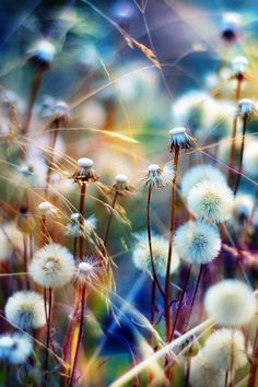dandelions - photography