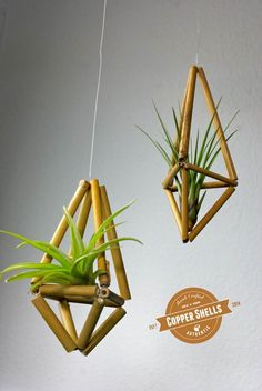 2 Bambus Himmelis u. Tillandsien (air plants)